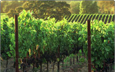 coombsville cabernet vineyards